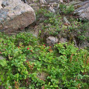 Bunchberries and granite