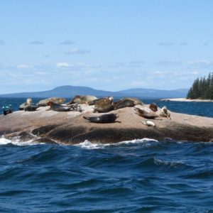 Seals in the harbor <i>Photo Credit Ann Marie Maguire</i>
